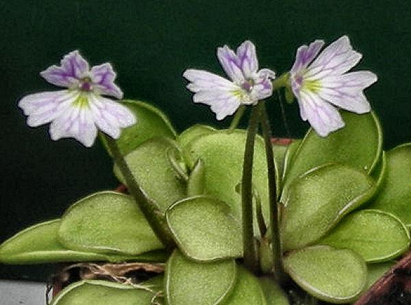 Quelques fleurs de mes pinguiculas P_emar10