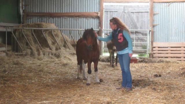 (87) DIEGO - ONC poney né en 2010 - A PARRAINER 24434910