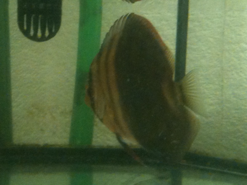 couleur discus ????? Img_0113