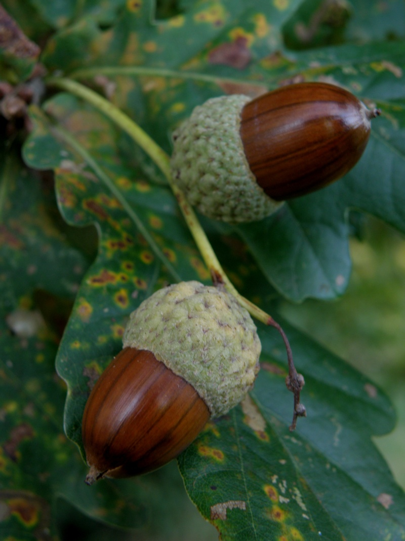 Mayenne mi-octobre, fruits d'automne Legran15