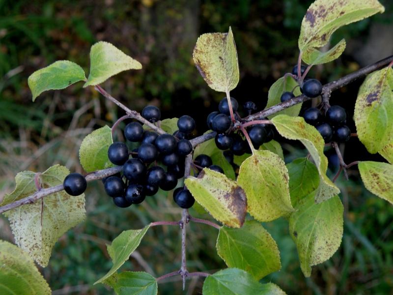 Mayenne mi-octobre, fruits d'automne Legran17