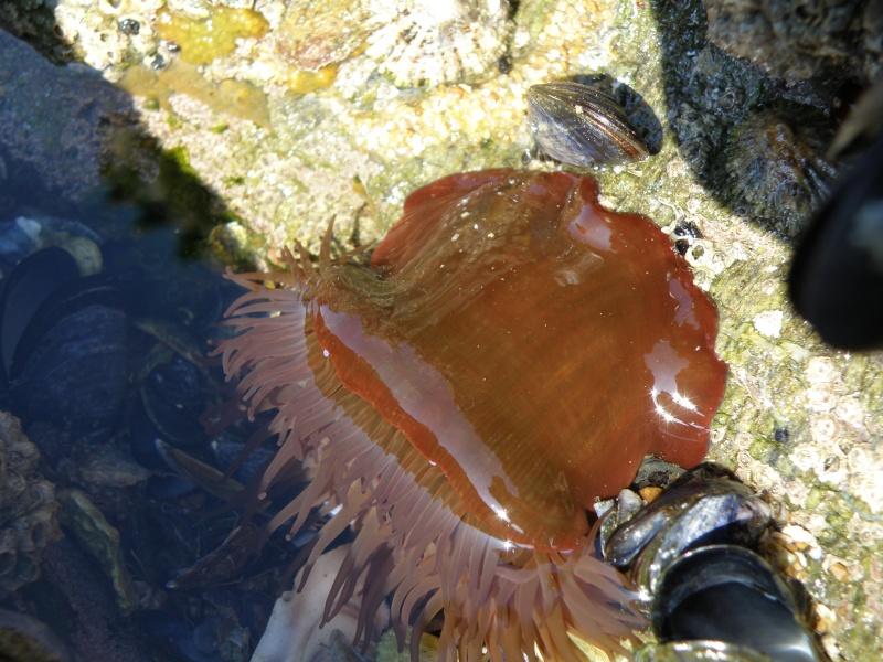Pêche à pied sur la côte de Jade Pornic14