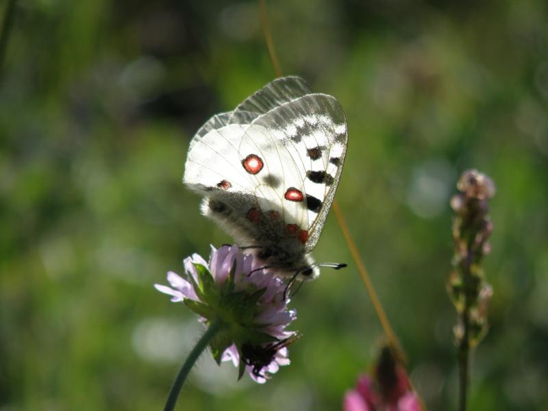 Papillons du Queyras Queyra69