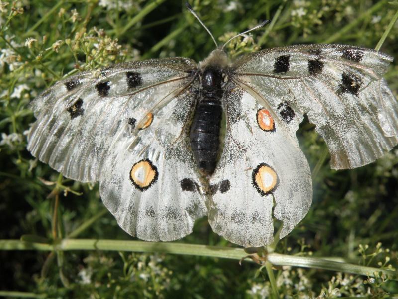 Papillons du Queyras Queyra70