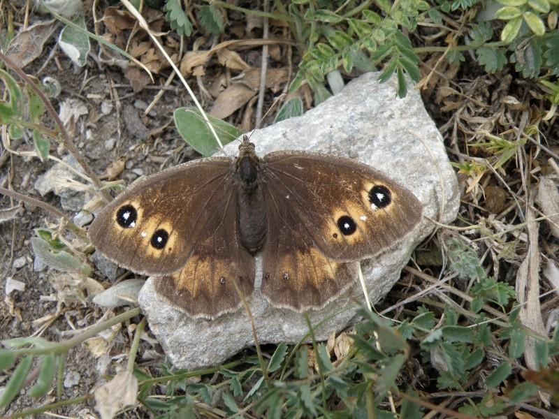 Papillons du Queyras Queyra72