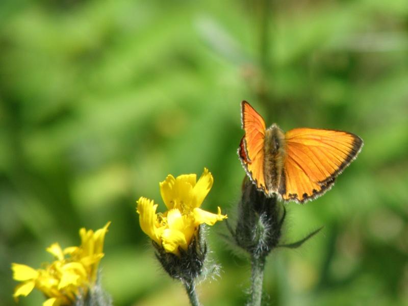 Papillons du Queyras Queyra74