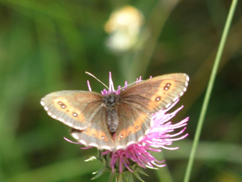 Papillons du Queyras Queyra75
