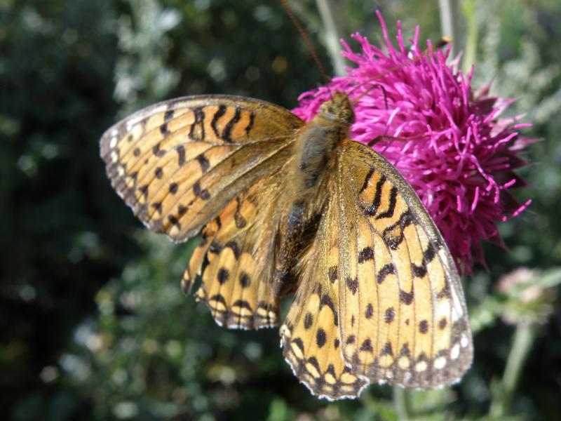 Papillons du Queyras Queyra77