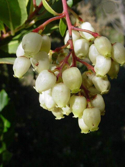 arbouse Fleur-10