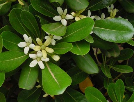 Pittospore de Chine / Pittosporum tobira Pittos10