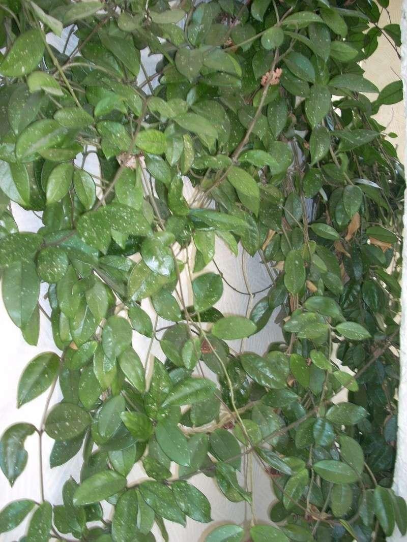 Flori de apartament-Îngrijire,înmulţire şi exponate Emines35