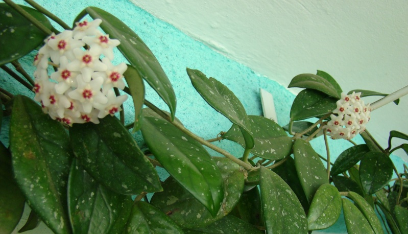 Flori de apartament-Îngrijire,înmulţire şi exponate Flori_11