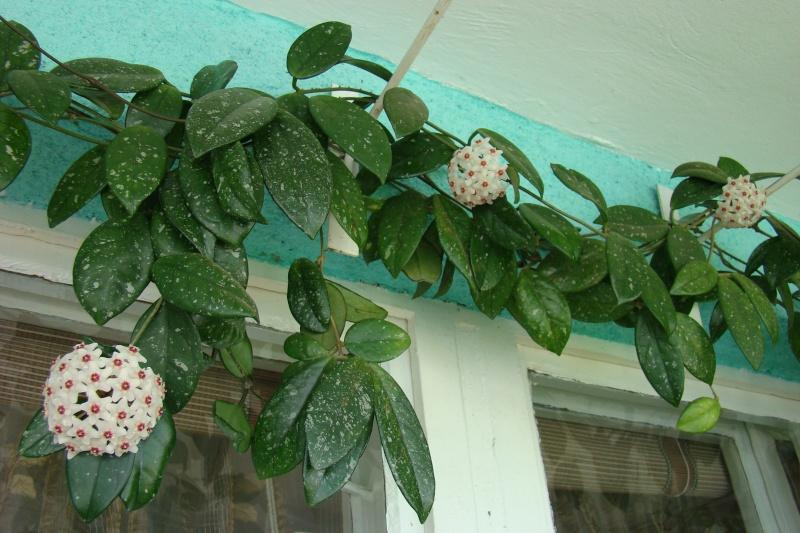 Flori de apartament-Îngrijire,înmulţire şi exponate Flori_15