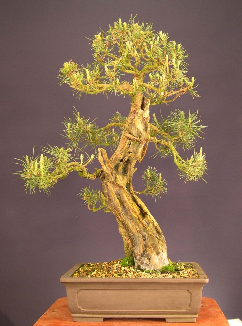 Pine Problem Dscn0018