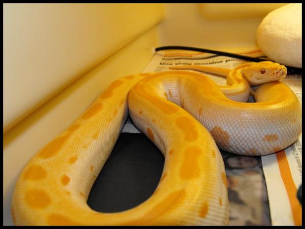 Bivittatus green albinos 20mars11