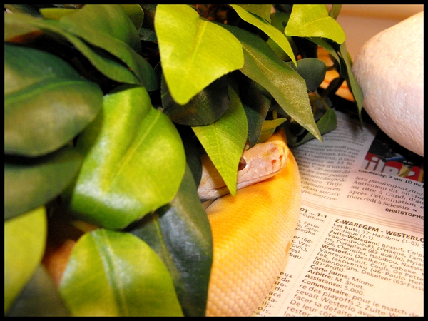 Bivittatus green albinos 20mars14
