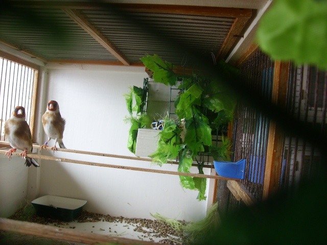 Ma femelle chardonneret construisant son nid Sl700311