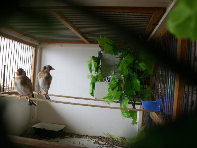 Ma femelle chardonneret construisant son nid Sl700312