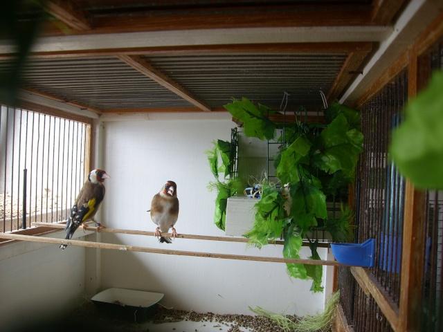 Ma femelle chardonneret construisant son nid Sl700313