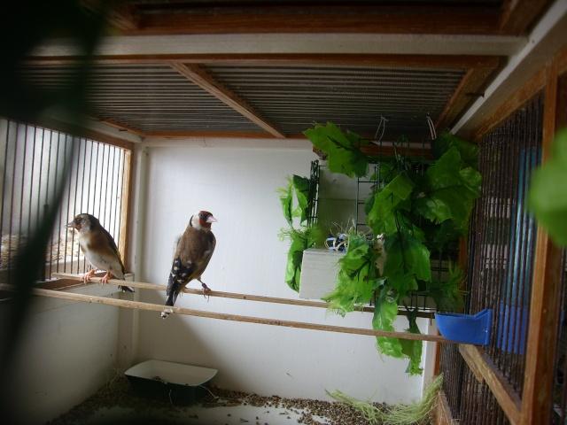 Ma femelle chardonneret construisant son nid Sl700314