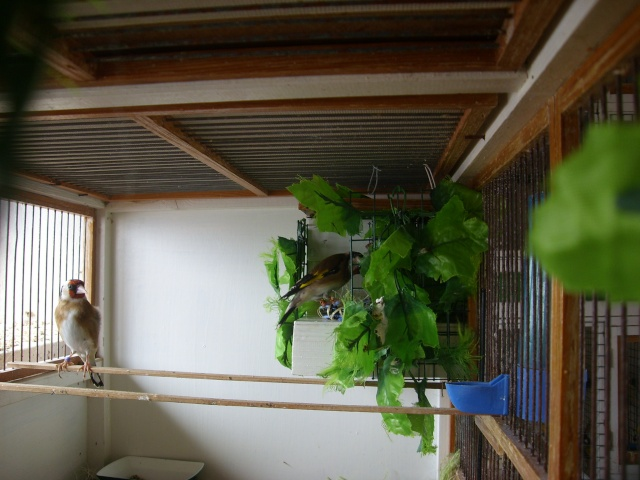 Ma femelle chardonneret construisant son nid Sl700315