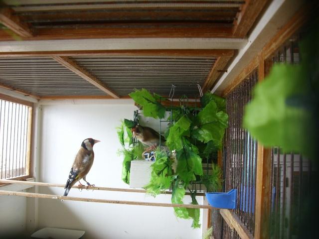 Ma femelle chardonneret construisant son nid Sl700316