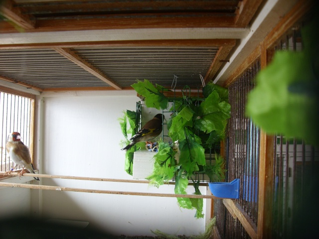 Ma femelle chardonneret construisant son nid Sl700317