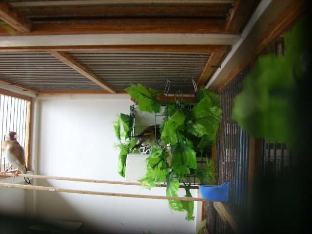 Ma femelle chardonneret construisant son nid Sl700318