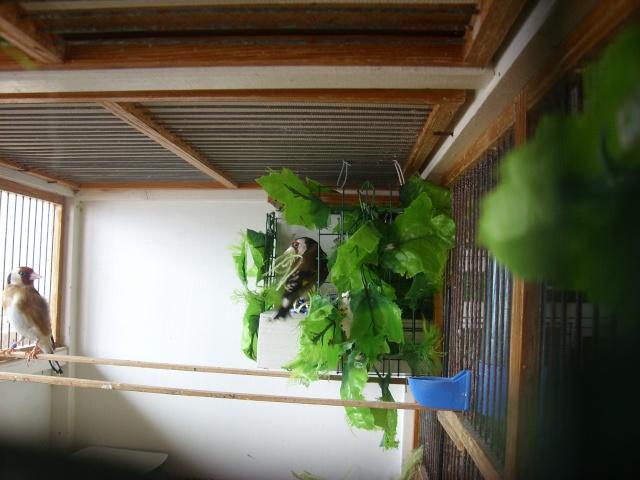 Ma femelle chardonneret construisant son nid Sl700319