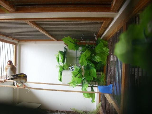 Ma femelle chardonneret construisant son nid Sl700320