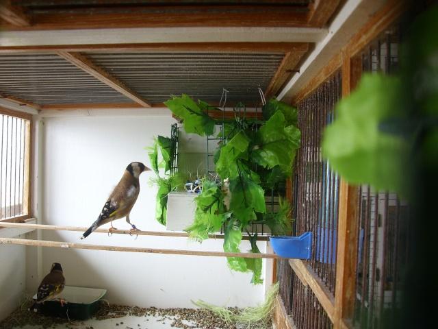 Ma femelle chardonneret construisant son nid Sl700321