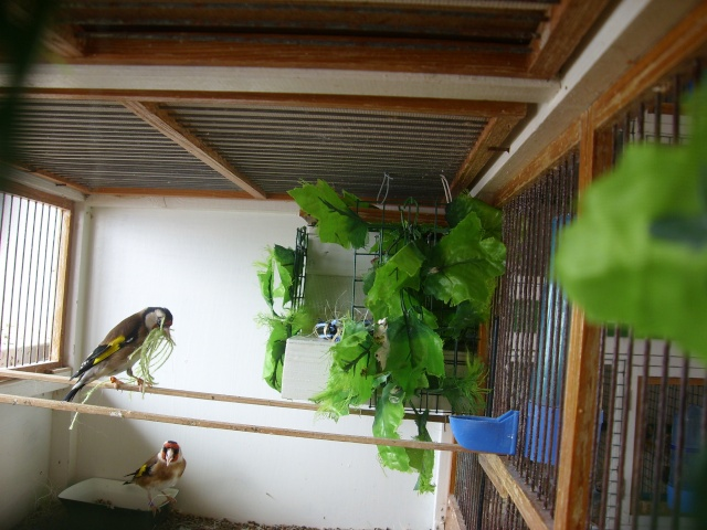Ma femelle chardonneret construisant son nid Sl700322