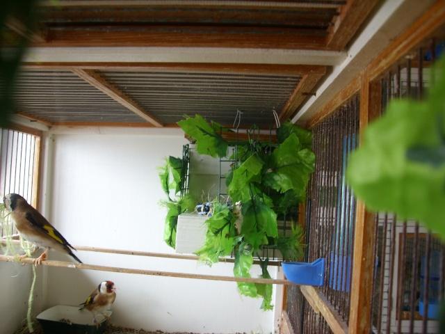 Ma femelle chardonneret construisant son nid Sl700323