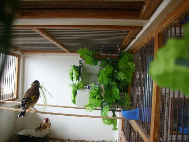 Ma femelle chardonneret construisant son nid Sl700324