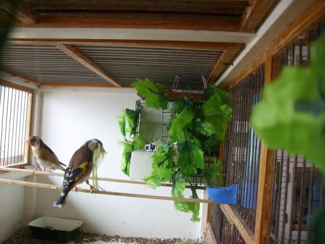 Ma femelle chardonneret construisant son nid Sl700325