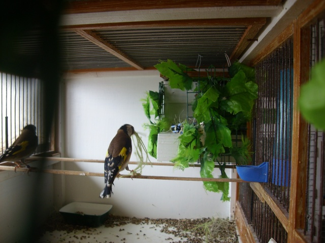 Ma femelle chardonneret construisant son nid Sl700326