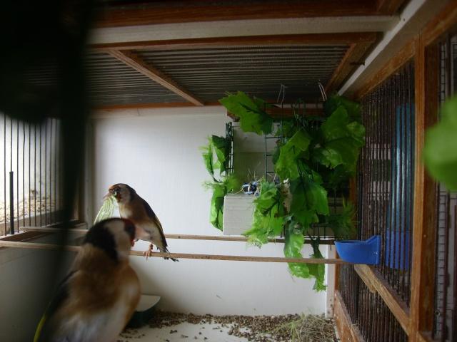 Ma femelle chardonneret construisant son nid Sl700327