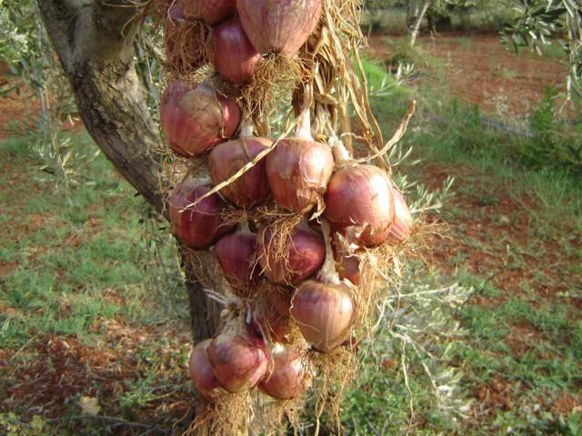 Βατικιώτικο κρεμμύδι. Dsc03411
