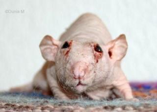 Les Maladies de l'oeil. Rats-a10