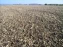ble derriere un mais grain en semis simplifié Lpic2913