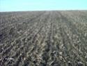 ble derriere un mais grain en semis simplifié Lpic2916
