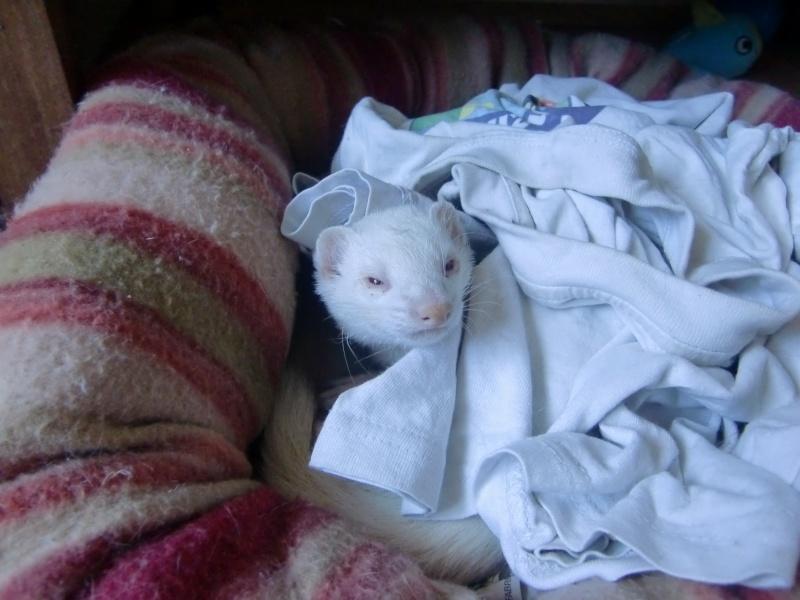 Loulou, furet albinos adopté par Olivia Cimg3413