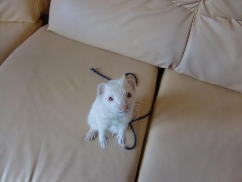 Loulou, furet albinos adopté par Olivia Cimg3414