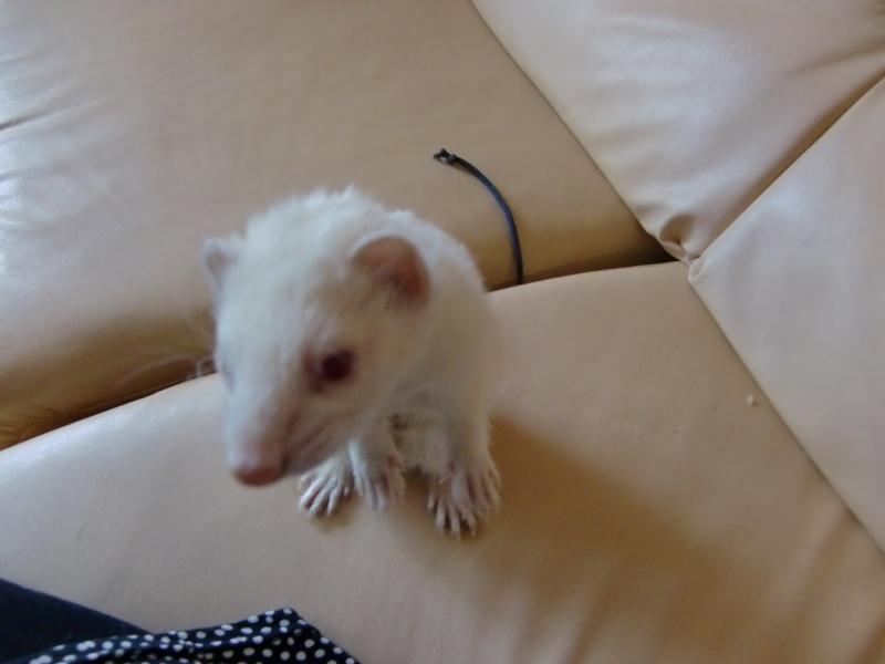 Loulou, furet albinos adopté par Olivia Cimg3416