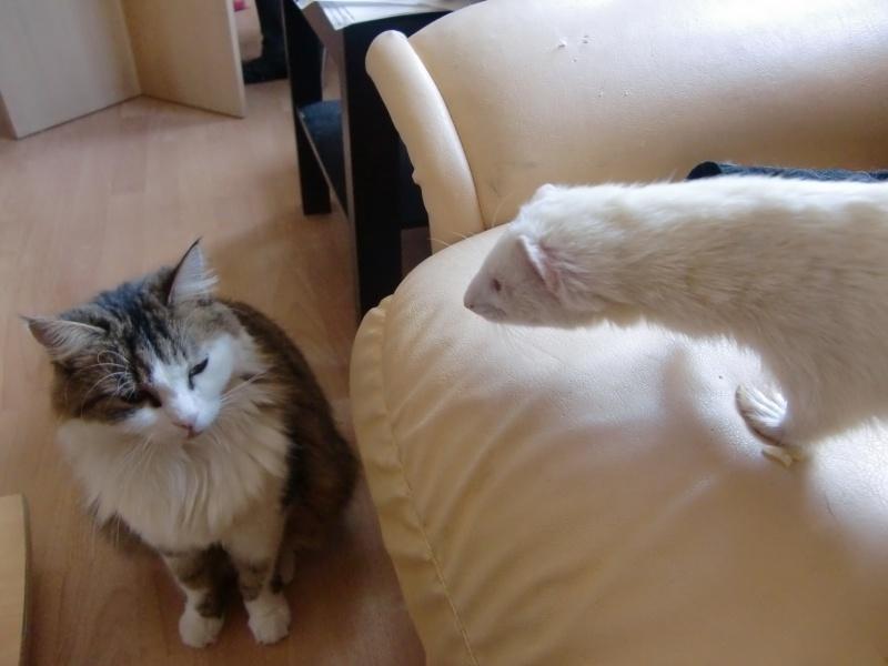 Loulou, furet albinos adopté par Olivia Cimg3417
