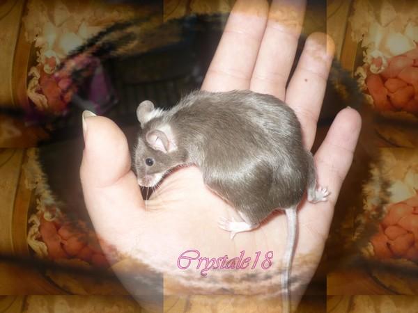 Bébés souris à donner prochainement à Rouyn-Noranda P1080211