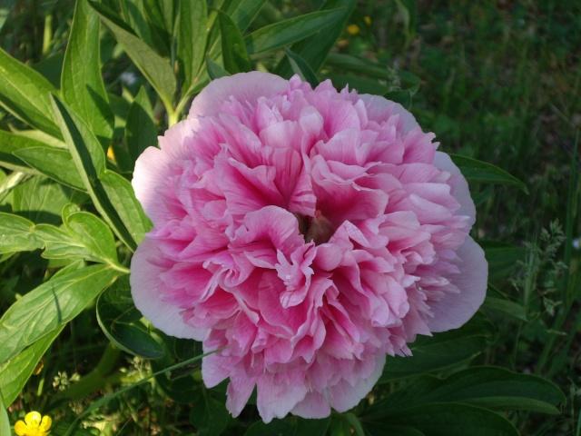 Offrons-nous une fleur ... Imgp2911