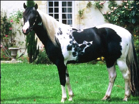 LGH Breeding, élevage de Quarter et Paint Horse et Pur sang anglais de couleur Babar_10