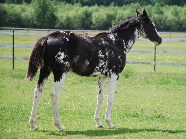 LGH Breeding, élevage de Quarter et Paint Horse et Pur sang anglais de couleur Baller10
