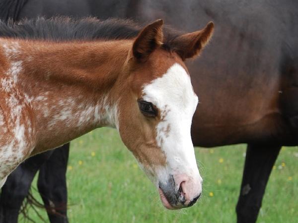 LGH Breeding, élevage de Quarter et Paint Horse et Pur sang anglais de couleur Color110